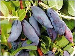 плоды жимолости сорта «Нимфа»