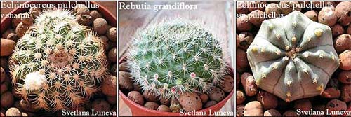 бутоны кактусов