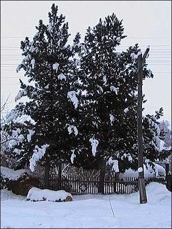 Кедр посадите дерево своим детям