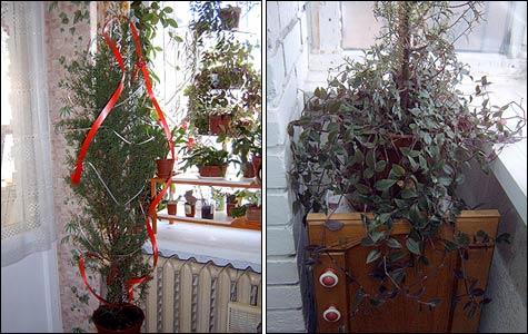 Кипарис: выращивание в квартире