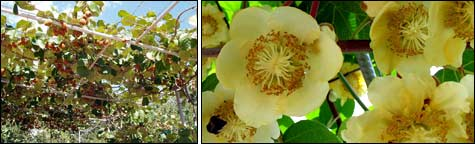 навес с плодоносящими лианами киви; цветение киви