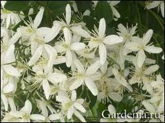 цветки клематиса жгучего