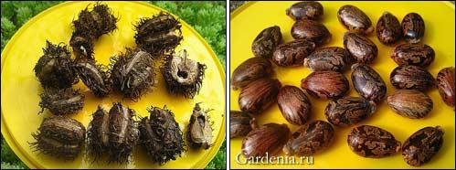 плоды клещевины; <strong>условиях</strong> семена клещевины