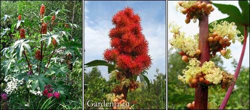 клещевина цветет; соцветие клещевины; мужские цветки клещевины