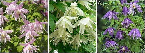 цветы княжики фото