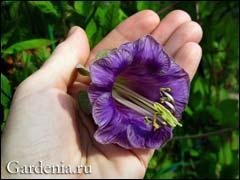 цветок фиолетовой кобеи