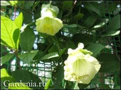 кобея с белыми цветками
