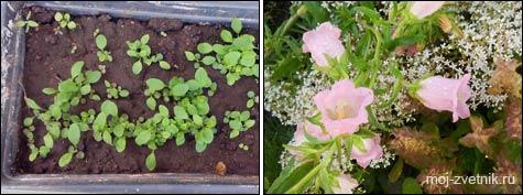 Колокольчик средний: выращивание из семян