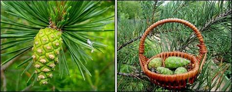 зелёная сосновая шишечка; урожай сосновых шишечек