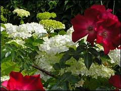 гортензии и розы