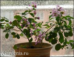 Выращивание лагерстремии из семян в домашних условиях 44