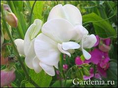Чина крупноцветковая, латирус широколистный