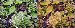 растения под натриевой и металлогалоидной лампами