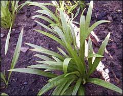 Опытная делянка по выращиванию лилии тигровой из дочерних луковиц -бульбочек