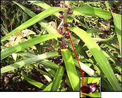 Как сажать бульбочки лилии 16