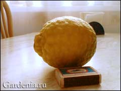 плод лимона