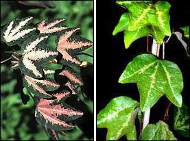 позеленение листьев пассифлоры трёхполосой на свету
