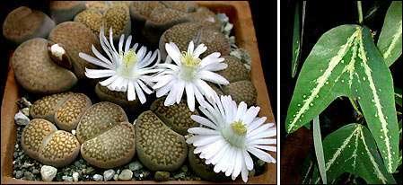 мимикрия у листьев литопса и пассифлора леопардоволистная