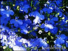 http://www.gardenia.ru/pages/i/lobelia002.jpg