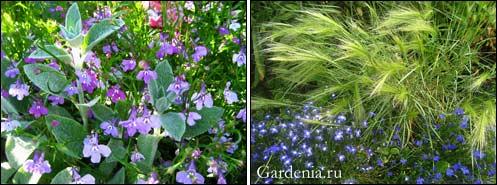 http://www.gardenia.ru/pages/i/lobelia0021.jpg