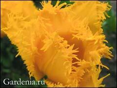 Луковичные цветы посадка осенью