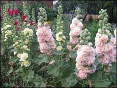 http://www.gardenia.ru/pages/i/malva001.jpg