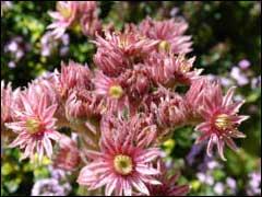 цветение молодила