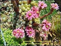 Молодило: опыт успешного выращивания из семян