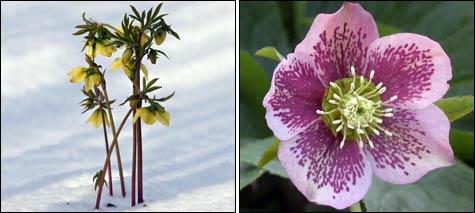 Первоцветы: морозник, геллеборус