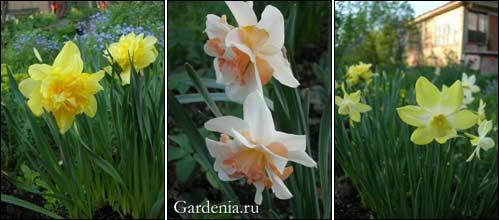 нарциссы в саду Л.М. Зеленской