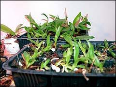 Выращивание сеянцев орхидей