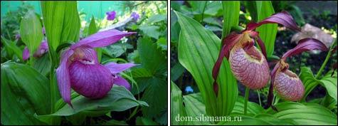 Венерины башмачки, или орхидеи в сибирском саду