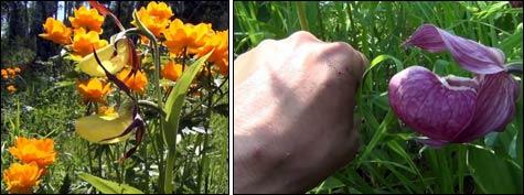 Орхидеи Венерины башмачки: опыт посадки в саду