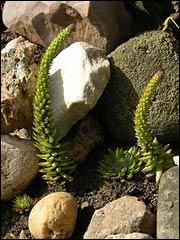 Горноколосник, оростахис в саду