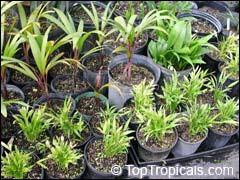 Выращивание пальм из семян