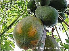 http://www.gardenia.ru/pages/i/papaia001.jpg
