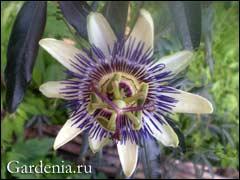 http://www.gardenia.ru/pages/i/passi002.jpg