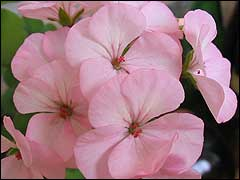 http://www.gardenia.ru/pages/i/pelarg002.jpg