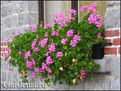 пеларгония украшает окно