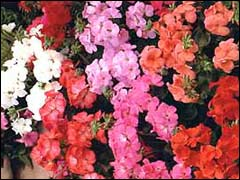 http://www.gardenia.ru/pages/i/pelarg004.jpg