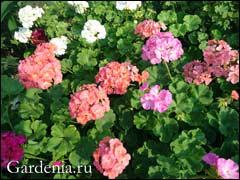 цветение зональных пеларгоний