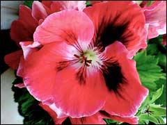 цветок пеларгонии королевской