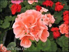 пеларгония цветёт