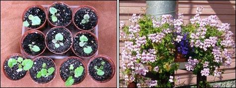 Пеларгония: посев с обрезкой семени