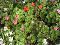 Посев пеларгоний для украшения сада