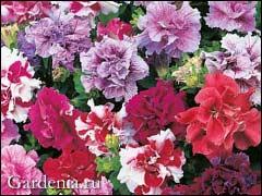 http://www.gardenia.ru/pages/i/petunia005.jpg