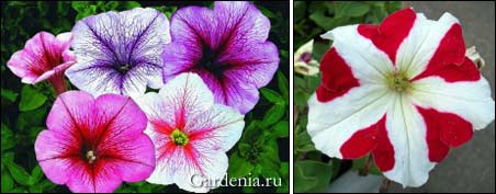 http://www.gardenia.ru/pages/i/petunia0051.jpg