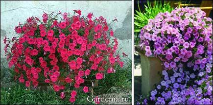http://www.gardenia.ru/pages/i/petunia0052.jpg