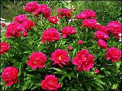 http://www.gardenia.ru/pages/i/piony001.jpg