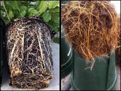 Пересадка растений из контейнеров в открытый грунт